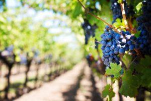 STARTVIERING IN OUDE PEKELA  'Werkers in de wijngaard'